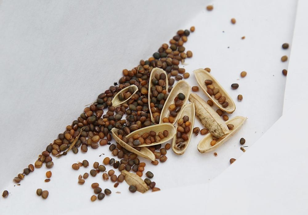arugula_seeds