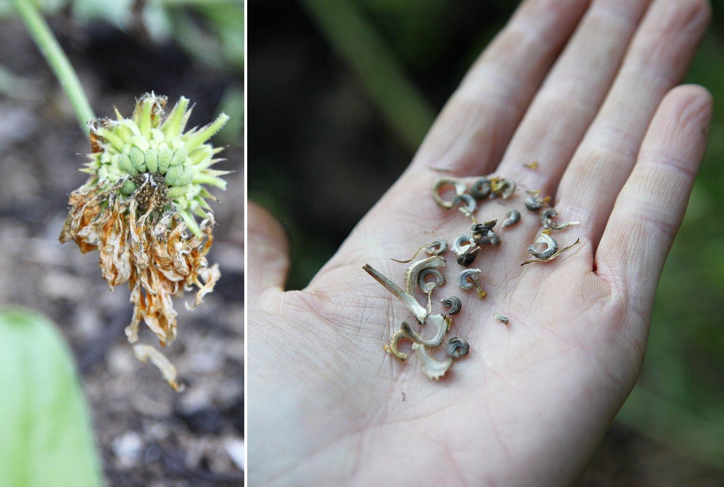 calendula_seeds