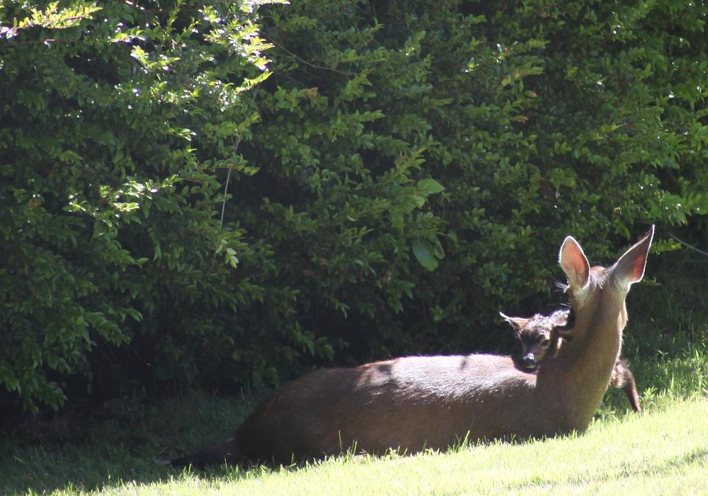 deer_birth_4