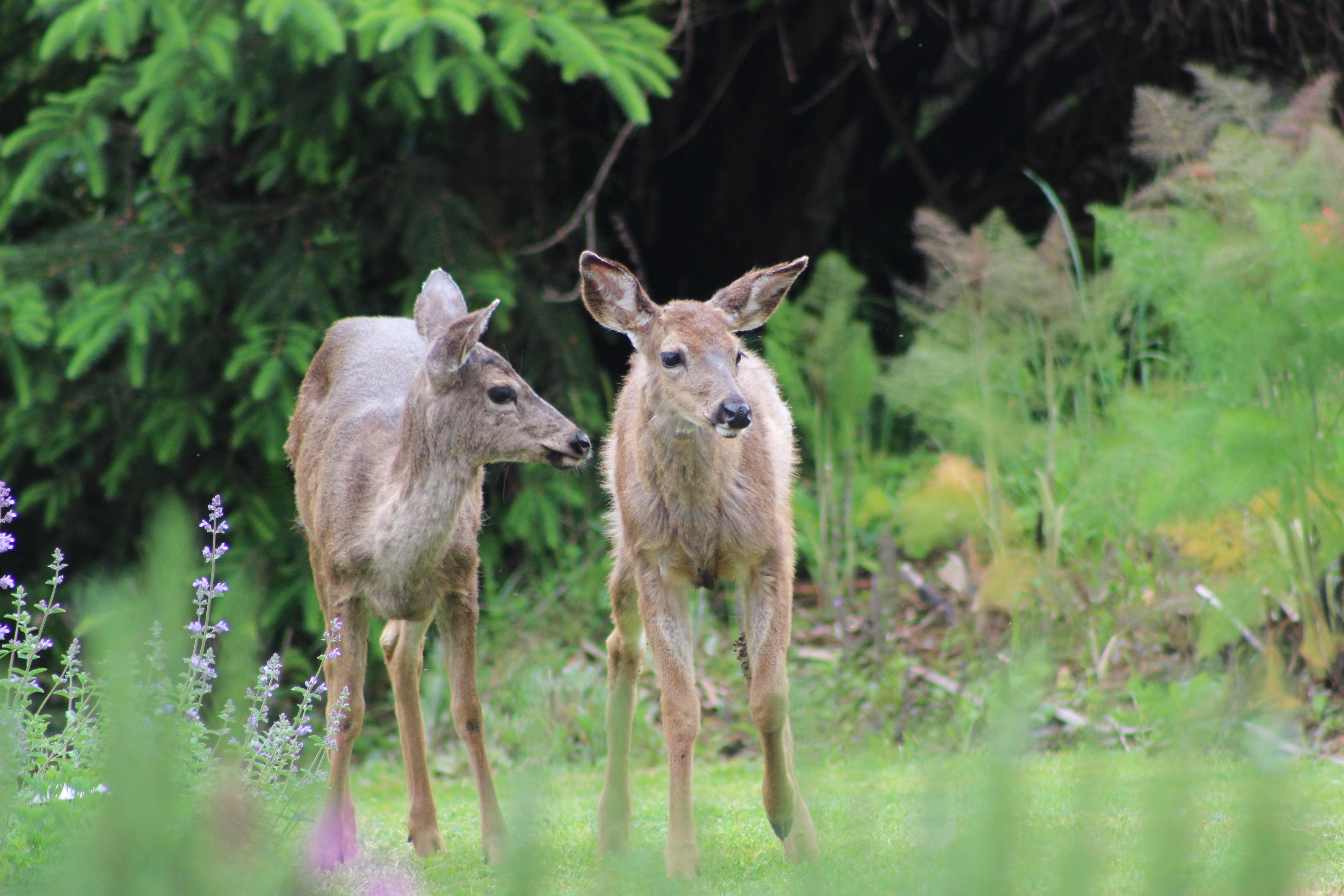 deer_may9