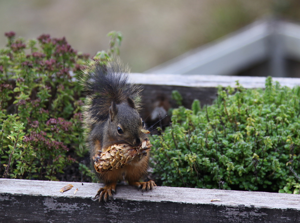 squirrel_october10