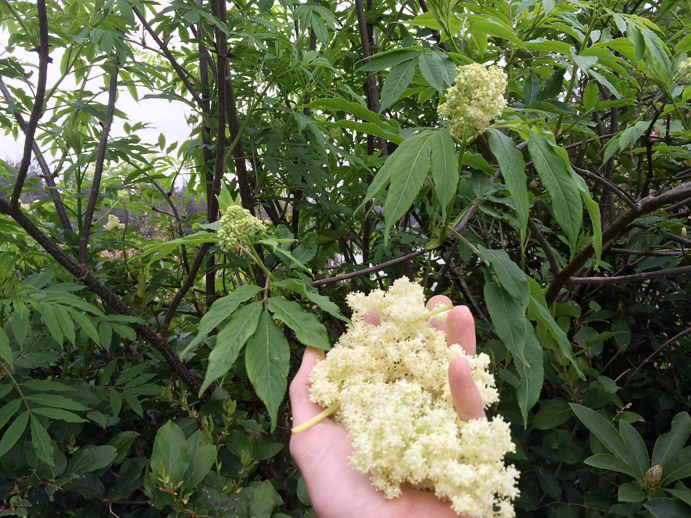 elderflower_1_sm