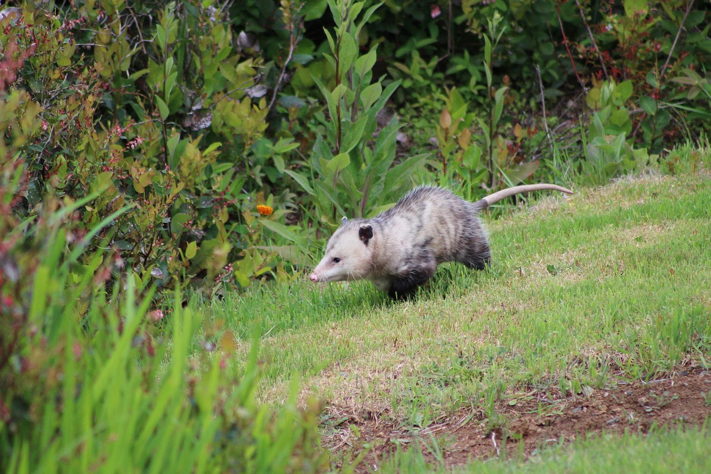 opossum_0503_0