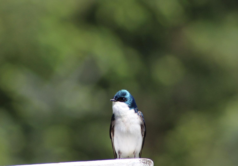 swallows_0430_1_1500